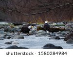 Close Up Of Bald Eagles Eating...