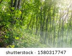 Morning fog in a green forest on a mountainside. Foggy morning in dense mountain forest. Deciduous forest on the mountainside.