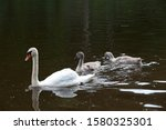 A Family Of Real Swans Living...
