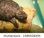 Baby Snapping Turtle Closeup...