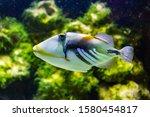 The Lagoon Triggerfish ...