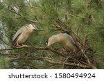 A Pair Of Nesting Black Crowne...