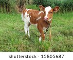 Little Cow  On Green Meadow