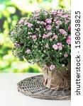 Chrysanthemum Buss In Pot On...