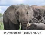 Small photo of Elephant cow with crass crown
