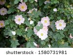 Rosa Canina Or Dog Roses In...