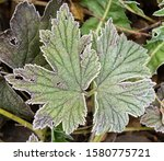 Leaves Of Anemone With Ice...