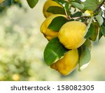 Quinces. Quinces On Tree With...