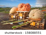Giant Pumpkins  Winners Of The...