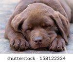 Stock photo sleeping chocolate labrador puppy 158122334
