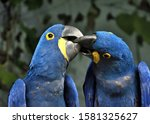 Kiss Of The Hyacinth Macaws ...