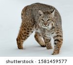 Bobcat Looking For Food In...