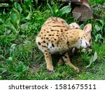 Asian Leopard Cat Felis...