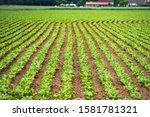 Rural Vegetable Fields. Lettuce ...