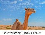 Arabian Camel  Camelus...