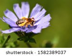 Isolated insect of the Apoidea superfamily on purple flower.