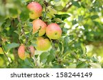 delicious apples hanging on a... | Shutterstock . vector #158244149