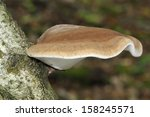 Birch Polypore Or Razor Strop...