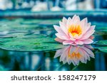 Beautiful Pink Lotus  Water...