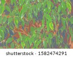 foliage of a tropical tree with ... | Shutterstock . vector #1582474291