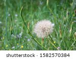 A Dandelion Clock With Lots Of...