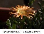 soft focus detail real golden... | Shutterstock . vector #1582575994