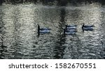 Four Barnacle Geese Are...