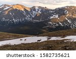 Mountain Elks - A herd of elk wandering at snow hills along side of Trail Ridge Road on a stormy Spring evening. Rocky Mountain National Park, Colorado, USA.  - stock photo