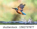 Common European Kingfisher ...