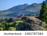 Yellow Bellied Marmot Sits On...