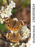 Common Buckeye Butterfly...