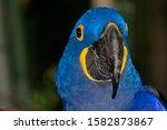 Hyacinth Macaw  Anodorhynchus...
