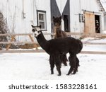 Adorable white-faced dark brown coloured young alpaca standing in front of other animal in soft focus background during a winter afternoon, Quebec City, Quebec, Canada