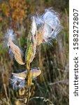 The Milkweed   Asclepias Sirac...