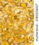 yellow ginkgo leaves on floor... | Shutterstock . vector #1583326027