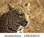 juvenile leopard | Shutterstock . vector #158333015