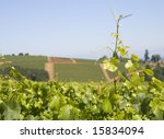 This is a grape vine growing over vineyard hills in dundee Oregon - stock photo
