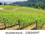 These are grape vines growing in the dundee hills, oregon. - stock photo