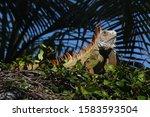 Large Green And Orange Iguana...