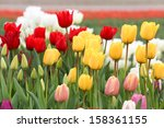 close up colorful tulip flowers | Shutterstock . vector #158361155