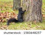 A Cute Black Squirrel At The...