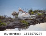 A Pelican Resting On A Bank...