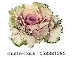 Decorative Cabbage Isolated On...