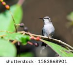 Bee Hummingbird Perched On A...
