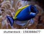 Powder Blue Tang  Acanthurus...