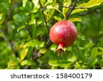 red pomegranate on a tree | Shutterstock . vector #158400179