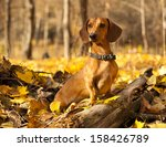 Dachshund On Autumn Forest Wit...