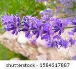 Purple Lavender Blossom On...