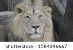 portrait lion basking in the... | Shutterstock . vector #1584396667