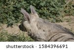 portrait of a spotted hyena in... | Shutterstock . vector #1584396691
